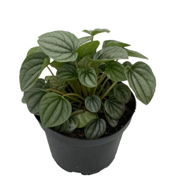 "Frost Peperomia 6"" Pot  - Easy to Grow Houseplant - Trending"