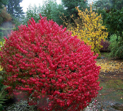 Fire Ball® Euonymus alatus 'Select' - Burning Bush - Proven Winners- 4'' pot