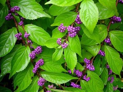 "Early Amethyst Beautyberry - Callicarpa - Shrub/Bonsai - 4"" Pot"