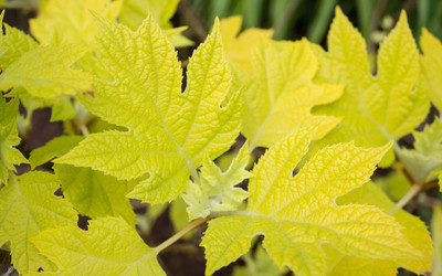 "Little Honey Oakleaf Hydrangea Bush - Bright Gold Foliage - 4"" Pot"
