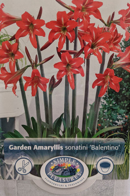Balentino Sonatini Amaryllis Bulb - 14/16 cm Bulb