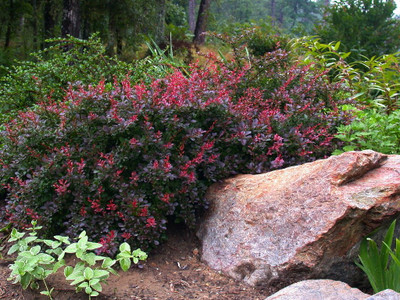 "Crimson Pygmy Barberry Perennial - Berberis - Very Hardy - 4"" Pot"