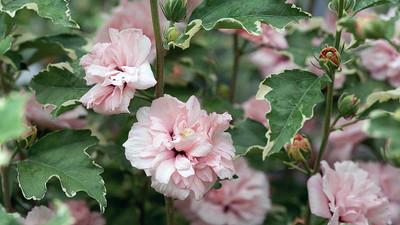 "Sugar Tip® Hibiscus Rose of Sharon - Creamy/White Tips - Proven Winners - 4"" Pot"