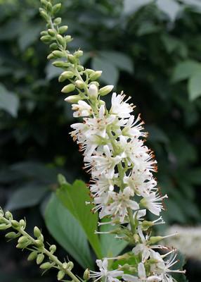 "Sugartina™ Clethra alnifolia - Crystalina - 4"" Pot -Summersweet - Proven Winners"
