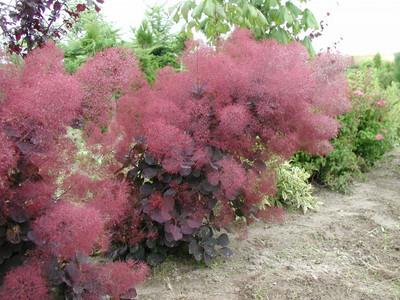 "Royal Purple Smoke Bush - Cotinus - Flowering Shrub - 4"" Pot"