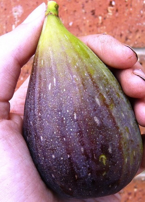 "Magnolia Brunswick Edible Fig Plant - Ficus carica - Canning - 2.5"" Pot"