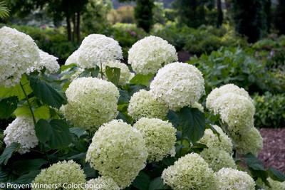 "Incrediball®  Hydrangea Perennial - Huge Flowers - 4"" Pot - Proven Winners"