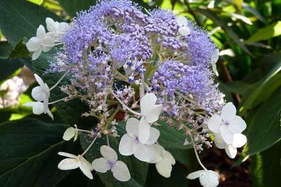 "Blue Bunny™ Hydrangea Shrub - Flowering Shrub - 4"" Pot - Proven Winners"