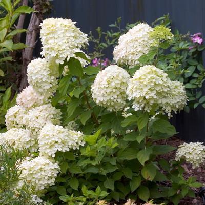 "Little Lime™ Hydrangea -Compact Flowering Shrub- Hardy - Proven Winners - 4"" Pot"