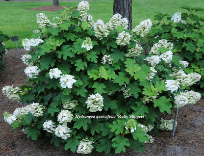 """Pee Wee Oakleaf Hydrangea Perennial - Dwarf White - 4"""" Pot"""