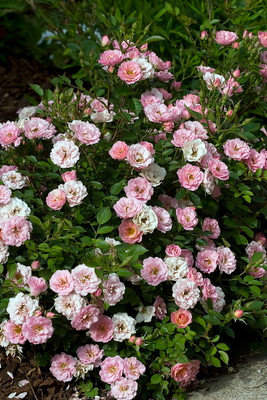 """OSO Easy®  Petit Pink Rose - Double Bubble Gum Pink - 4"""" Pot - Proven Winners"""