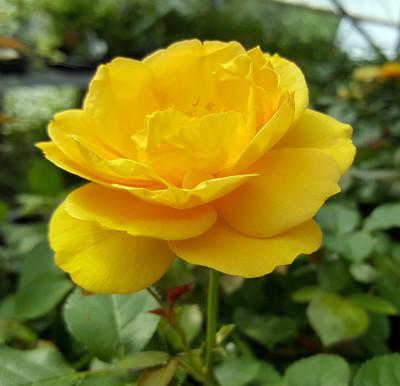 "Julia Child Rose Bush - Butter Yellow - 4"" Pot"