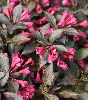 """Spilled Wine® Weigela - Red Leaves, Magenta Flowers - Proven Winners - 4"""" Pot"""