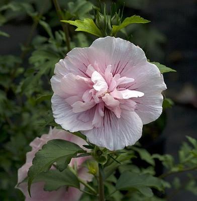 "Pink Chiffon ™ Hibiscus syriacus - Rose of Sharon - Proven Winner - 4"" pot"