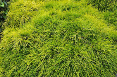"Sungold Cypress Plant - Chamaecyparis - Evergreen Shrub - 4"" Pot"