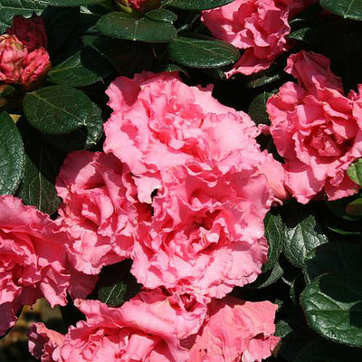 """Double Pink Bloom-A-Thon®  Everblooming Azalea - Proven Winners - 4"""" Pot"""