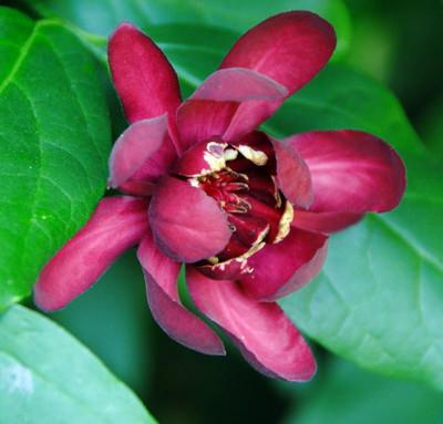 "Calycanthus Aphrodite PPAF- Sweetshrub - Fragrant - Proven Winners - 4"" Pot"