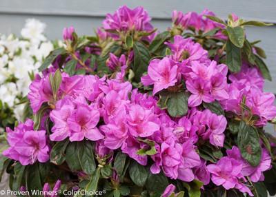 "Lavender Bloom-A-Thon®  Everblooming Azalea - 4"" Pot - Proven Winners"