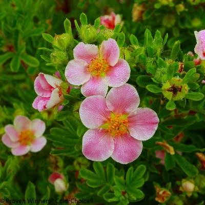 """Pink Paradise Happy Face ®  Bush Cinquefoil - Potentilla-Proven Winners-4"""" Pot"""