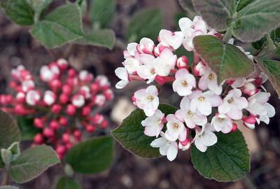 "Korean Spice Viburnum carlesii - World's Most Beautiful/Fragrant Shrub - 4"" Pot"