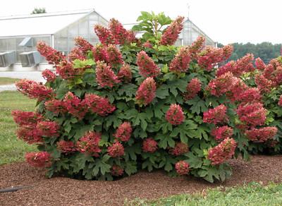 """Ruby Slippers - Dwarf Oakleaf Hydrangea Bush - 4"""" Pot"""