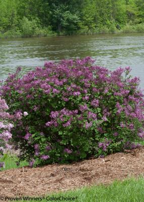 "Bloomerang® Dark Purple Lilac - Syringa - Proven Winners - 4"" Pot"