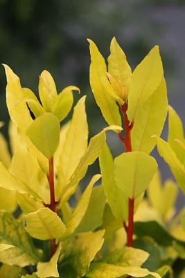 "Sicilian Sunshine Sweet Bay Laurel Herb - Laurus nobilis - 4"" Pot"