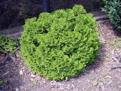 "Hetz Midget Arborvitae - Thuja - Evergreen - Very Dwarf - 4"" pot"