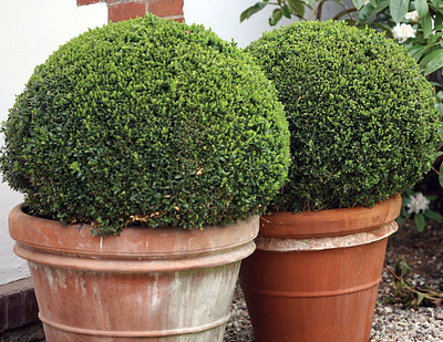 """Sprinter™ Boxwood - Buxus - Grows in Sun or Shade - Proven Winners - 4"""" Pot"""