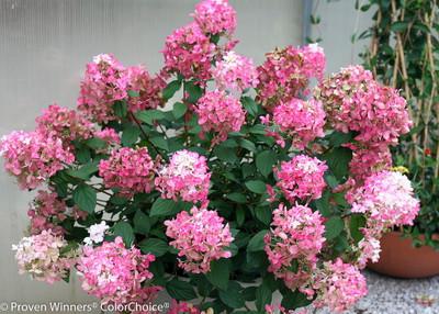 """Fire Light ™ Hydrangea paniculata - 4"""" Pot - Proven Winners"""