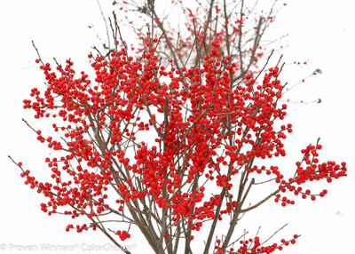 "Berry Poppins™ Winterberry Holly - Ilex - Broadleaf Evergreen - 4"" Pot"