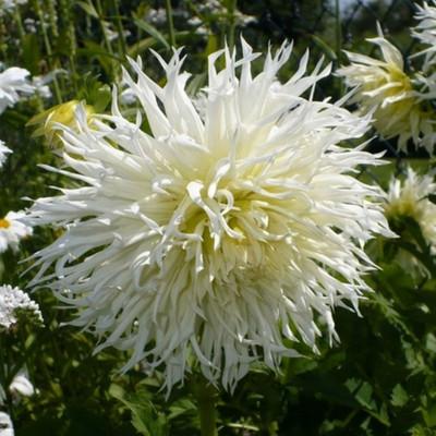 Tsuki Yori No Shisha Dinner Plate Dahlia - 1 Bulb - #1 Size Tuber - Bright White