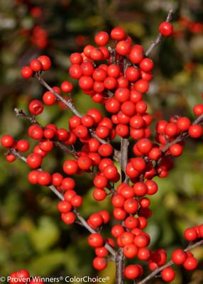 Berry Heavy ®  Winterberry - Ilex - Vivid - Also Bonsai! - Proven Winner