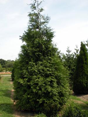 "Spring Grove® Western Arborvitae Thuja plicata - 4"" Pot - Proven Winners"