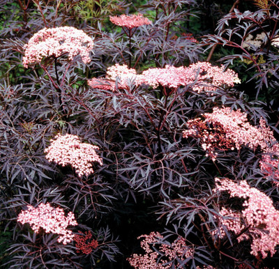 "Black Lace™ Elderberry - Sambucus - NEW - HARDY - Proven Winners - 4"" Pot"