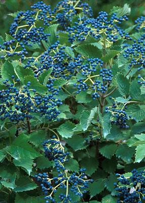 "Blue Muffin® Arrowwood Viburnum Shrub - Hardy/Showy - Proven Winners - 4"" Pot"