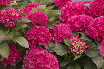 "Cityline Paris®  Hydrangea macrophylla - Intense Red - Proven Winners - 4"" Pot"
