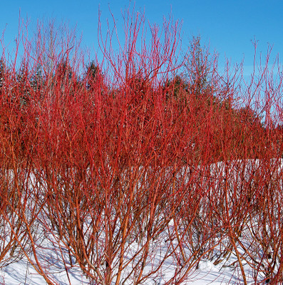 "Baileyi Red Twig Dogwood - 4"" pot - Cornus stolonifera"