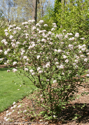 "'Spice Girl' Korean Spice Viburnum - 4"" Pot - Proven Winners"
