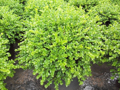 "Chicagoland Green Boxwood - 4"" pot - Buxus"