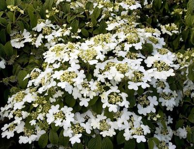 "Summer Snowflake Viburnum - 4"" Pot - White Flowers"