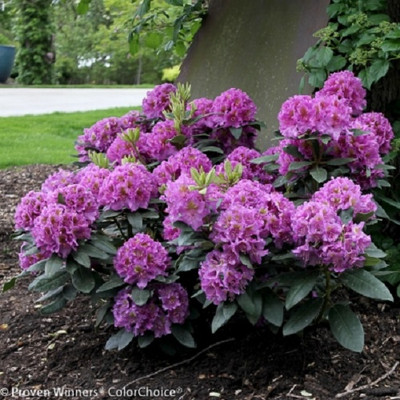 Dandy Man® Purple Rhododendron - Quart Pot - Proven Winners
