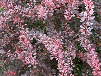 "Rose Glow Barberry - 4"" pot - Berberis thunbergii"