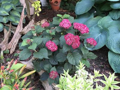 """Invincibelle® Ruby Hydrangea - 4"""" Pot - Proven Winners"""