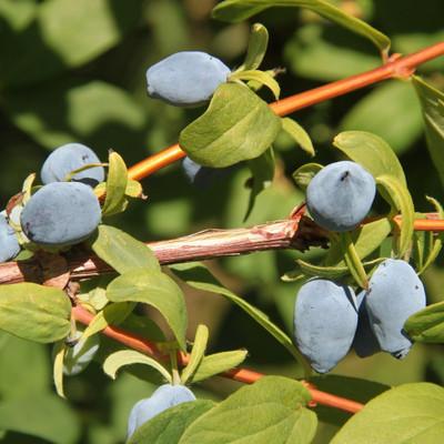"""Yezberry ® SOLO ™ Haskap - 4"""" pot - Lonicera - Proven Winners"""