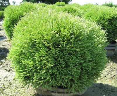 "Mr. Bowling Ball 'Linesville' Arborvitae - 4"" pot - Thuja - Proven Winners"