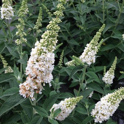 "'Miss Pearl' Butterfly Bush - 4"" pot - Buddleia - Proven Winners"