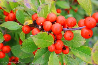 """Little Goblin® Orange Winterberry - 4"""" Pot - Ilex - Proven Winners"""