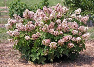 "Munchkin Oakleaf Hydrangea - 4"" pot"