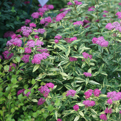 "Double Play ® Painted Lady ™ Spiraea - 4"" pot - Proven Winner"